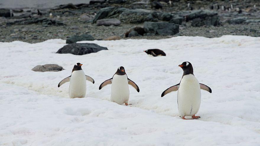 Der Lebensraum für Pinguine in der Antarktis schmilzt dahin.