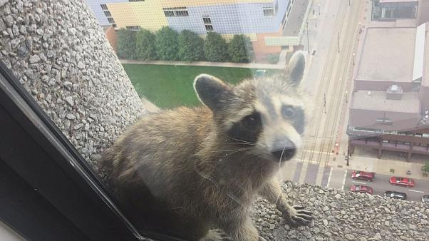 Minnesota raccoon climbs to the top of our hearts