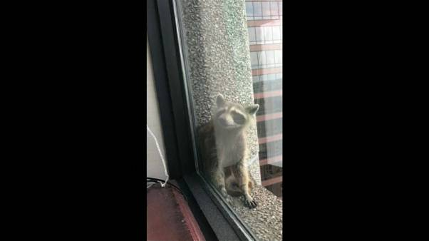 Un mapache escala un rascacielos y causa sensación en internet