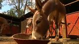 Kínának ölik le a szamarakat Afrika-szerte
