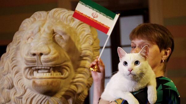 آشیل، گربه پیشگوی روسی، ایران را برنده مسابقه با مراکش اعلام کرد