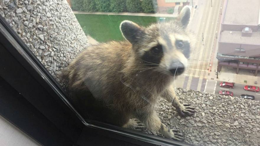 Raccoon scales skyscraper, cat predicts World Cup results — No Comments of the week