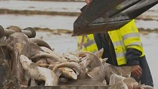 Mystery unravels after 400 sharks found washed up on Brittany beach