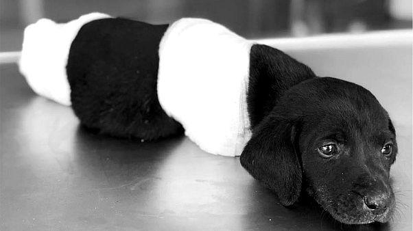 Sakarya'da patileri kesilen yavru köpek: Kepçe operatörü tutuklandı