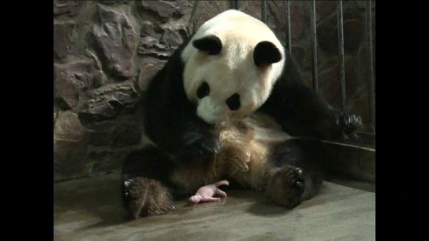 شاهد: أول ولادة توأم باندا عملاقة في الصين