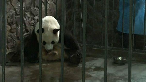 Naissance de pandas jumeaux en Chine