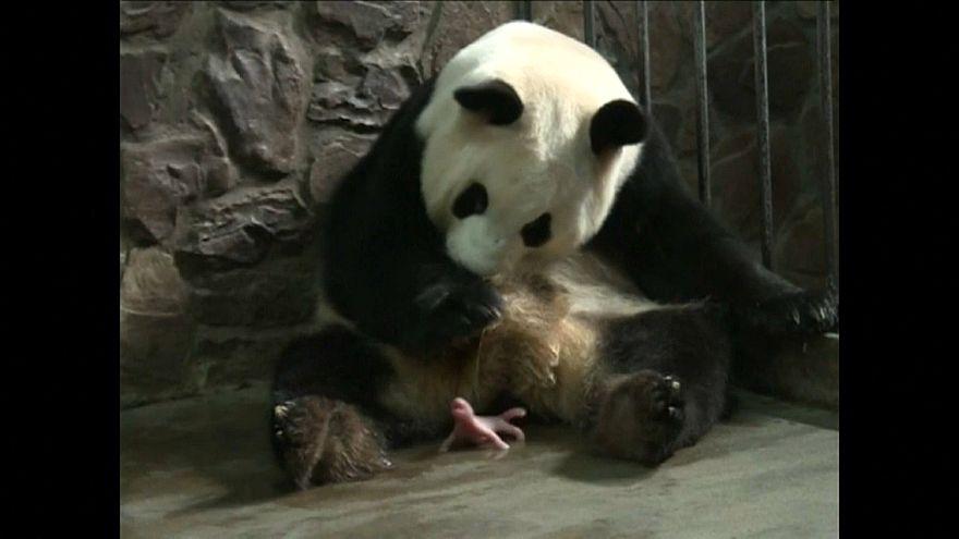 Neugeborenes Pandakind