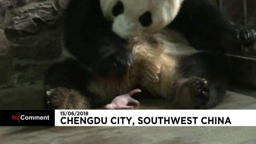 Nace un panda en Chengdú City