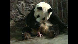 Male panda twins born in China