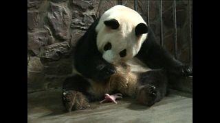 Pandas gémeos nascem em Sichuan