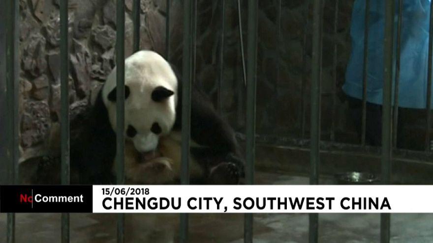 Cina: Aili, mamma panda dà alla luce due gemellini