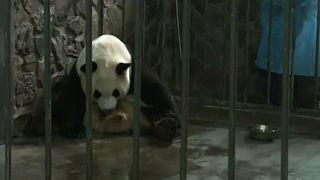 Óriáspandák születtek Kínában