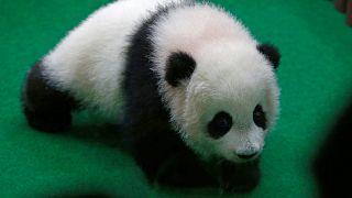 Δίδυμα γιγαντιαία πάντα γεννήθηκαν στην Κίνα
