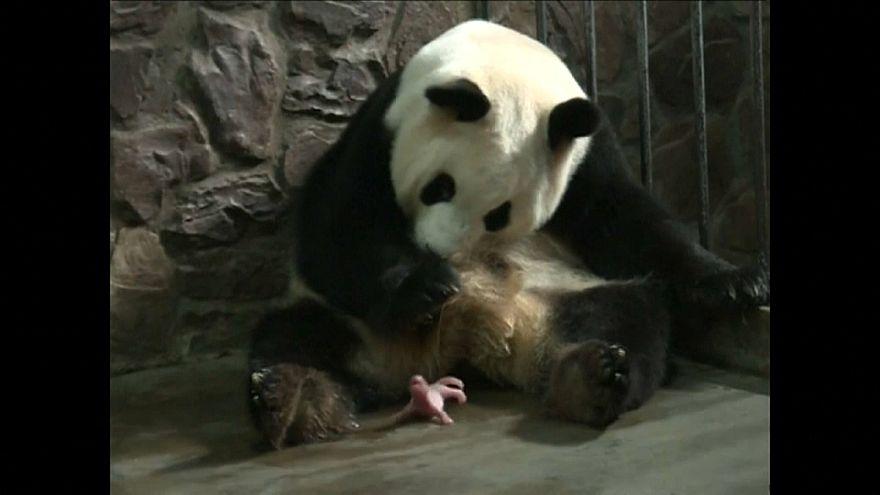 Панда Аили родила близнецов