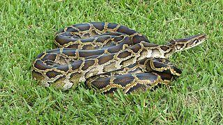 Endonezya'da 7 metrelik yılan insan yuttu