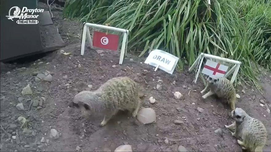 حيوانات السرقاط تتنبأ بالمنتخب الفائز في مبارة تونس وأنجلترا