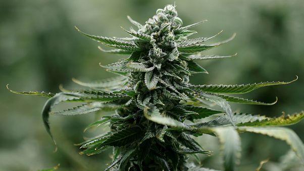 Canada : la légalisation du cannabis adoptée