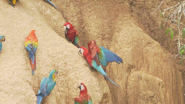 Aranyásók, ara papagájok, magyar tudósok és egy jaguár