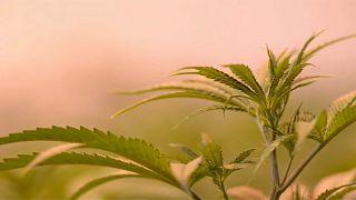 Canada: la Camera approva la legalizzazione della cannabis