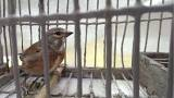 EU court rules Malta's 'barbaric' finch trapping is illegal