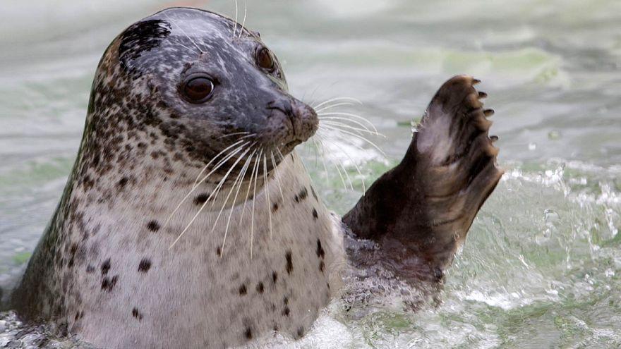 Спасенные людьми балтийские тюлени вернулись в дикую природу