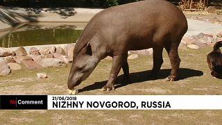 Cleopatra, o tapir 'adivinho' deste Mundial