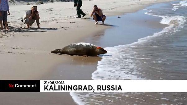 Zoo de Kaliningrado liberta focas bebé para o mar
