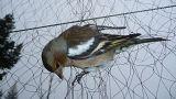 EU-Gericht: Vogelfang auf Malta ist illegal