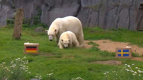 مونديال روسيا: دبّة قطبية تتوقع الفائز بين ألمانيا والسويد