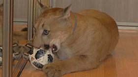 Ein Puma als Haustier