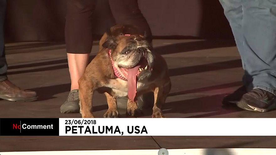 Zsa Zsa é o cão mais feio do mundo