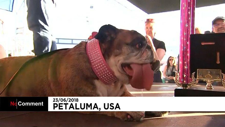 شاهد: مسابقة أبشع كلب وكلبة في العالم