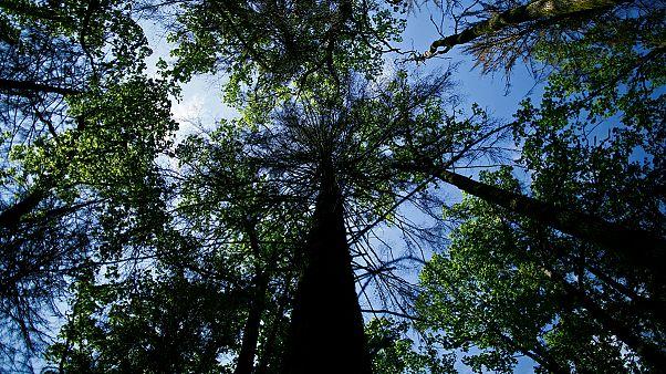 Alultápláltak a fák a légszennyezettség miatt