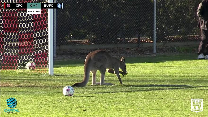 Real life 'soccer-roo' disrupts football game in Canberra