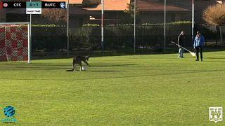كنغر يقتحم مباراة كرة قدم للسيدات