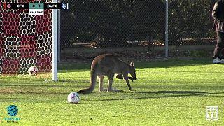 Un kangourou fan de football en Australie