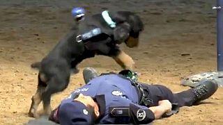 ¿El vídeo del perro policía español realizando una reanimación cardiopulmonar es cierto?