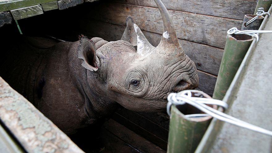 Носороги переезжают