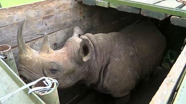 شاهد: نقل حيوانات وحيد القرن إلى محمية طبيعية جديدة في كينيا