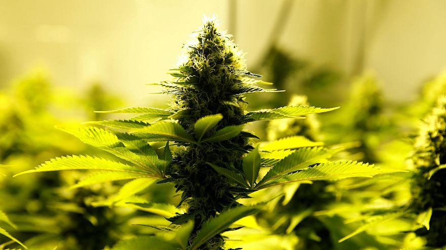 A cannabis plant