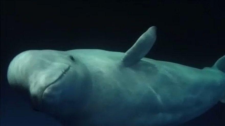 Nyíltvízi bálnamenedék épül Izlandon