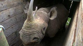 Kenia: Neue Heimat für Spitzmaulnashörner