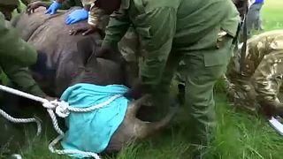 Költöznek az orrszarvúak Kenyában