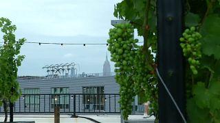 New Yorker bauen Wein auf den Dächern Brooklyns an