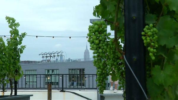 Nova Iorque tem o primeiro telhado que é também uma vinha