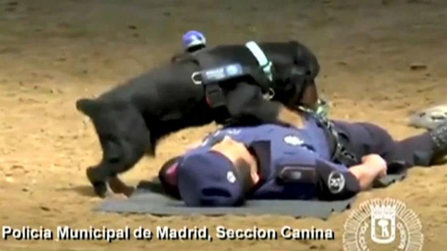 شاهد: كلب يقوم بعملية إنعاش قلبي لإنقاذ مدربه