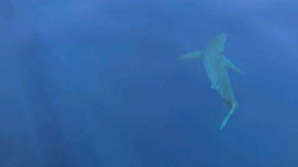 Μεγάλος λευκός καρχαρίας νότια των Βαλεαρίδων