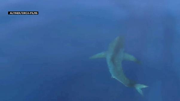 The Great White shark spotted off the coast of Mallorca