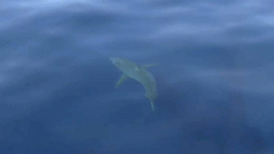 Avistado tubarão branco nas Baleares