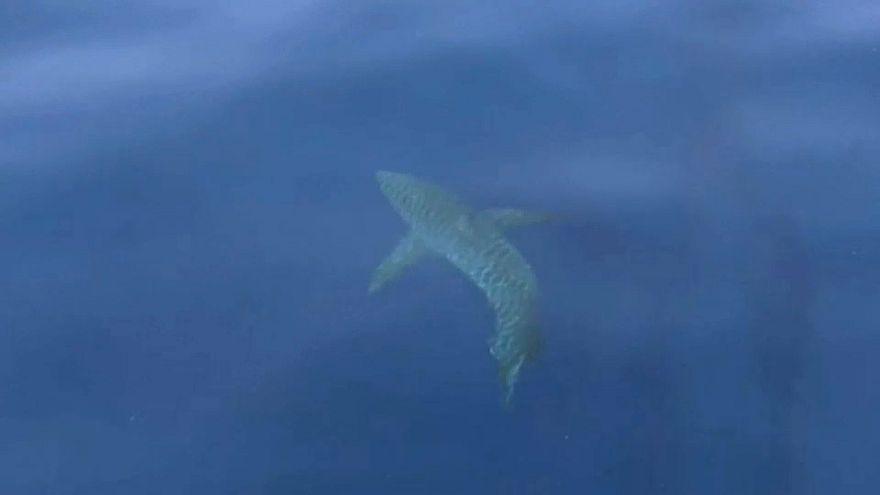 Большая белая акула у испанских берегов